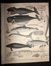 L. Oken 1843 Antique Hand Col Print. Whales, Narwal, Dolphin, Manatee 90